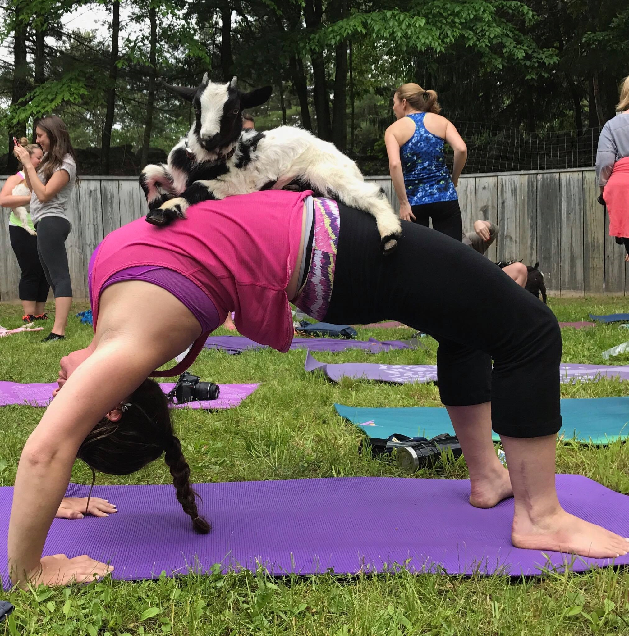 Yoga With Goats At Great Rock Farm Goatstogo Farm